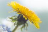 Dandelion on blue bright background - 267644501