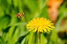 European Honey Bee (Apis Melli...
