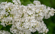White Lilac Flowers. Spring Background
