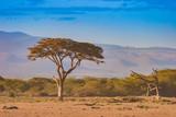 Fototapeta Sawanna - Kenya. Africa. Savannah. African acacia in the savannah. Trees on the prairie. Plants of the Kenyan savanna. Landscapes of Africa.