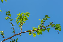 Branch Of Mulberry Tree On Blue Sky