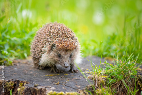 Photo sur Toile Kiev Cute common hedgehog on a stump in spring or summer forest during dawn. Young beautiful hedgehog in natural habitat outdoors in the nature.