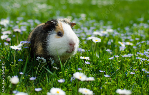 Fotomural guinea pig walks in the fresh air and eating