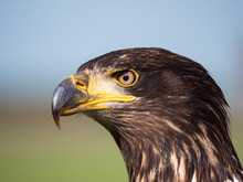 Close-up Of An Immature American Bald Eagle