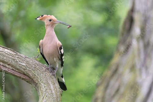 Fotomural  Wonderful portrait of Hoopoe bird (Upupa epops)