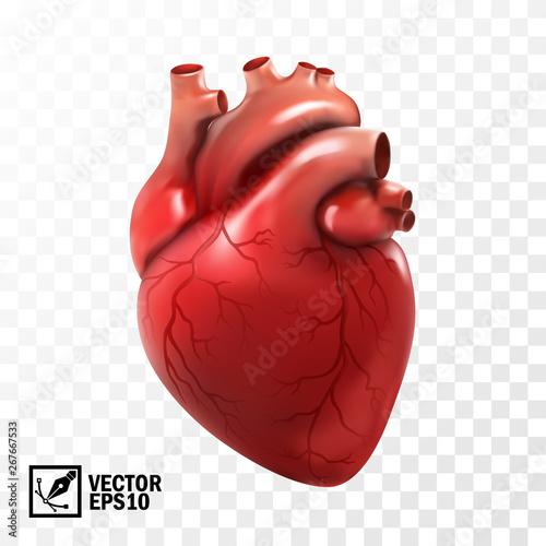 Fotografie, Obraz 3d realistic vector isolated human heart