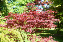 Purplish Red Japanese Maple Tree (Acer Palmatum Bloodgood, Aceraceae) On A Sunny Day In Late Spring, Selective Focus