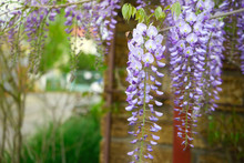 Beautiful Flowers Of Wisteria,...