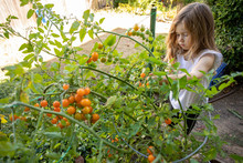 A Toddler Aged Girl Playing Outside In A Home Garden Next To A Large Cherry Tomato Plant.