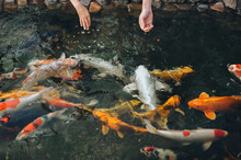 A Young Mother And Her Son Feeds The Multicolored Koi Carps In The Pond. Two Human Hands With Food And Big Hungry Fish Close Up. Hobby And Leisure.