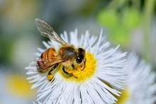 A Honey Bee Is Busy Pollinatin...