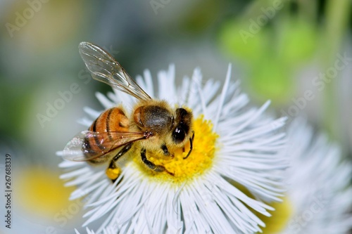 Canvas Print Honey bee busy pollinating a Daisy Fleabane wildflower in Houston, TX