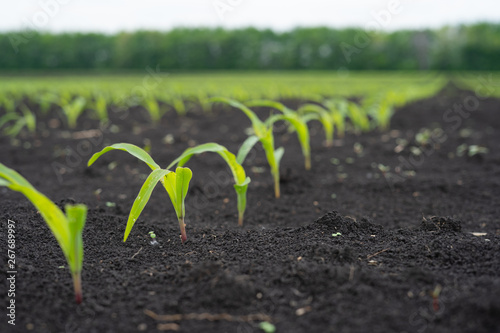 Farmer field with small young sprouts Corn Fototapet