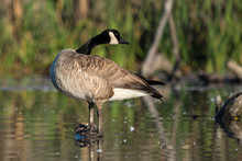 Canada Goose Perched On Log Over Water