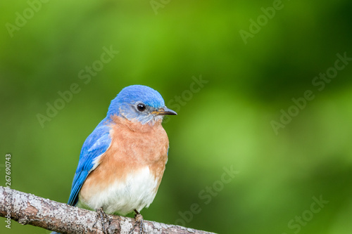 Valokuva  Eastern Bluebird Male, Sialia Sialis, perched on a branch in early Spring