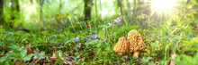 Morel Mushrooms In Sunshine
