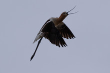 American Avocet Flying In The Wild