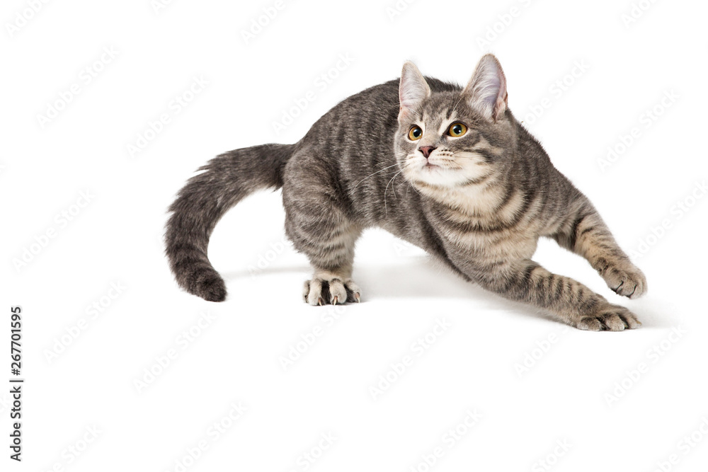 Fototapety, obrazy: Funny Kitten Running Around on White