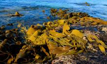 Sea Kelp Washed On Rocks On Tasmania East Coast