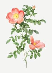 Fototapeta Vintage Red sweetbriar rose