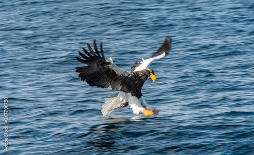 Garden Poster Eagle Adult Steller's sea eagle fishing. Motion blur. Scientific name: Haliaeetus pelagicus. Blue ocean background. Natural Habitat.