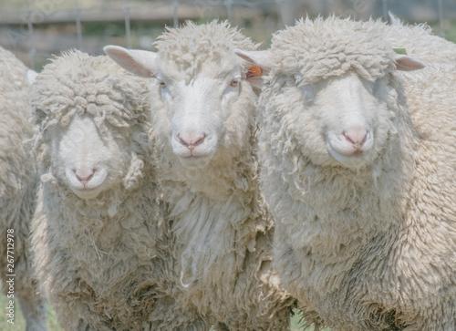 Foto 三匹の羊