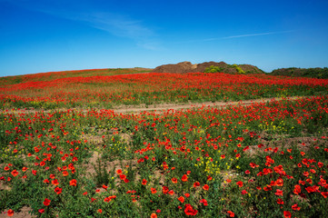 Field of flowers of red poppy. Ukraine is a beautiful place.