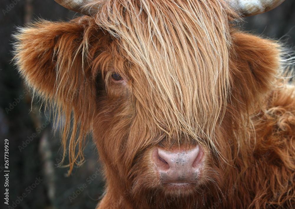 Fototapeta Scottish Highland Cow, Highlander, Scotland