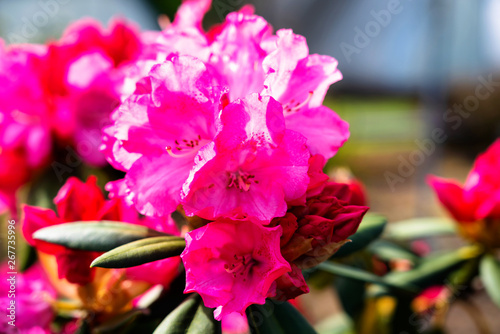 Spoed Fotobehang Roze Rhododendron and azalea in the garden. Close up and soft focus
