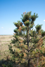 Young Conifer Affected By The Disease. Sick Pine. Yellow Needles.