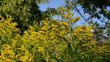 Goldenrod Wildflowers Grow In ...
