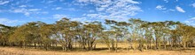 A Panorama Of Fever Trees, Vachellia Xanthophloea, In Lake Nakuru National Park. These Trees Grow Up To 25 Meters Tall. Summer Panormaic Landscape With Blue Sky And Clouds.
