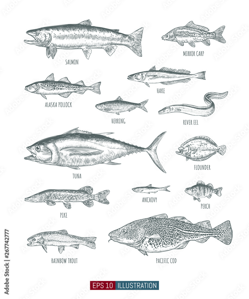 Fototapety, obrazy: Hand drawn realistic river and ocean fishes set. Engraved style vector illustration. Template for your design works.