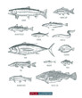 Hand drawn realistic river and ocean fishes set. Engraved style vector illustration. Template for your design works.