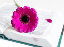Flat Lay Open Bible / Book And Pink/purple/violette/red Gerbera Flower On A White Background. With Pink Petals, Open Journal. Baselland, Switzerland - 03.05.2019.