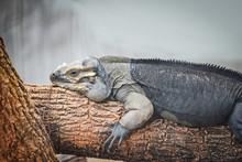 Rhinoceros Iguana Lying On A Branch - Cyclura Cornuta