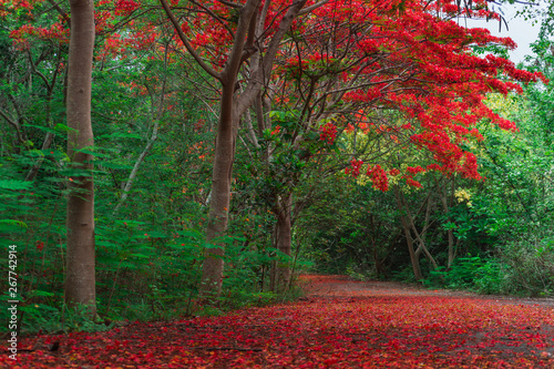 Foto auf Gartenposter Kastanienbraun Scene of Flame Tree, Royal Poinciana
