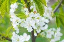 Branch Of Apple Tree With Whit...