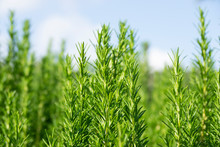 Green Rosemary Field. Closeup Bokeh Effect. Horizon With Blue Sky