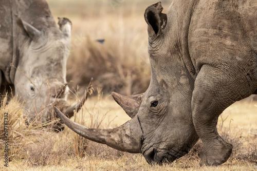 Two white Rhinoceros grazing the land in Lake Nakuru, Kenta Africa,Ceratotherium simum