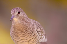 """Fire-erased Is A Columbiform Bird Of The Family Columbidae. The Name Popular Fire-erased Is Undoubtedly The Best Translation Written For The Song Of This Bird, One Of The Most Typical Sounds Of """"roça"""""""