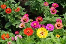 Red, Pink, Magenta, Orange, Yellow Flowers Of Zinnia