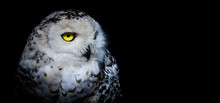 Snowy Owl In Black Background