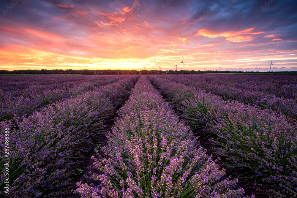 Fototapety, obrazy: Lavender field at sunrise / Stunning view with a beautiful lavender field at sunrise