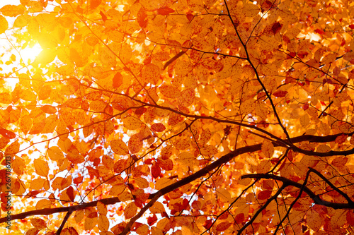 Foto auf Leinwand Rotglühen Sunlight from beech foliage in sunny day. Autumn background. Copy space. Soft focus