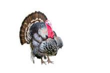 Turkey Bird Isolated On White Background
