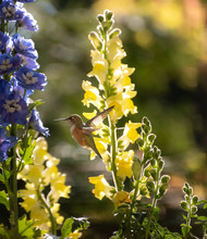 Rufous Hummingbird 5269