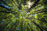 Fototapeta Na ścianę - Looking up Green forest. Trees with green Leaves, blue sky and sun light. Bottom view background