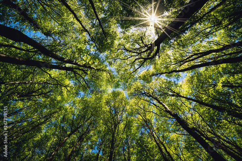 Fototapety na sufit   looking-up-green-forest-trees-with-green-leaves-blue-sky-and-sun-light-bottom-view-back