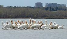 Migrating American White Pelicans (Pelecanus Erythrorhynchos) In Cherry Creek State Park, Denver, Colorado